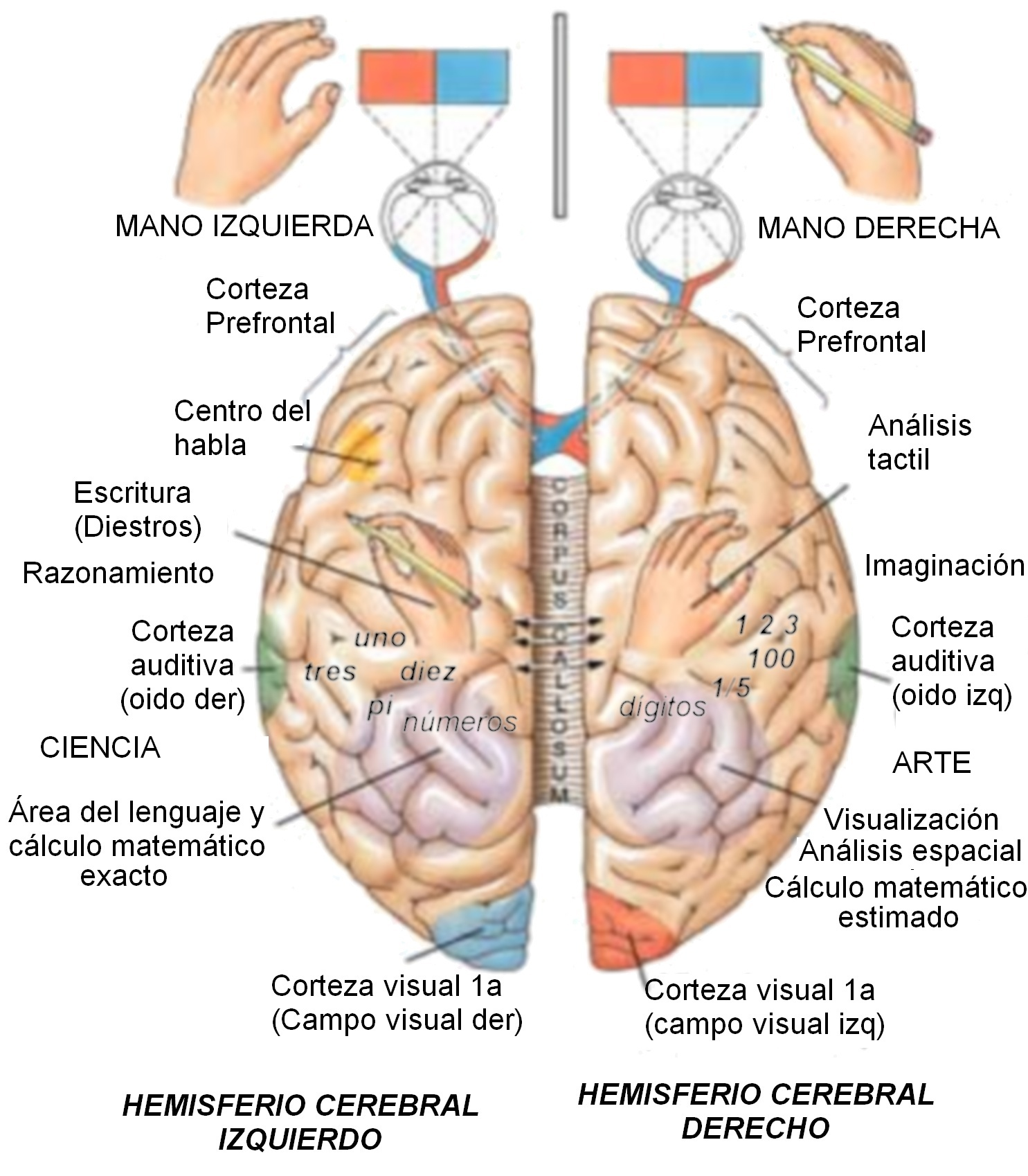 Resultado de imagen de el cerebro humano y sus funciones